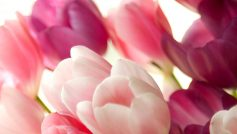 Обои Тюльпаны, цветы, нежные, розовые
