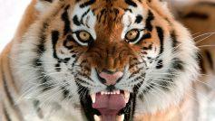 Обои Амурский тигр, кошка, оскал, морда, клыки