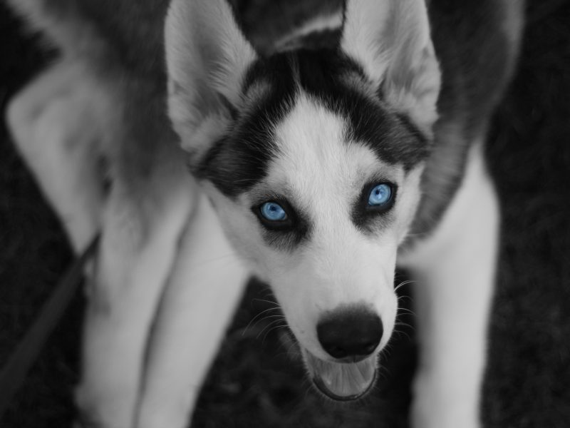 север, Хаски, глаза, пес